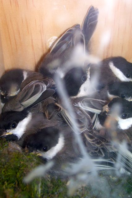 a classroom view of baby birds hatching and developing